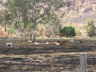 Sarabah cows
